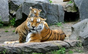 本物の虎の親子